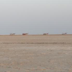 A train of camels crossing the salt desert